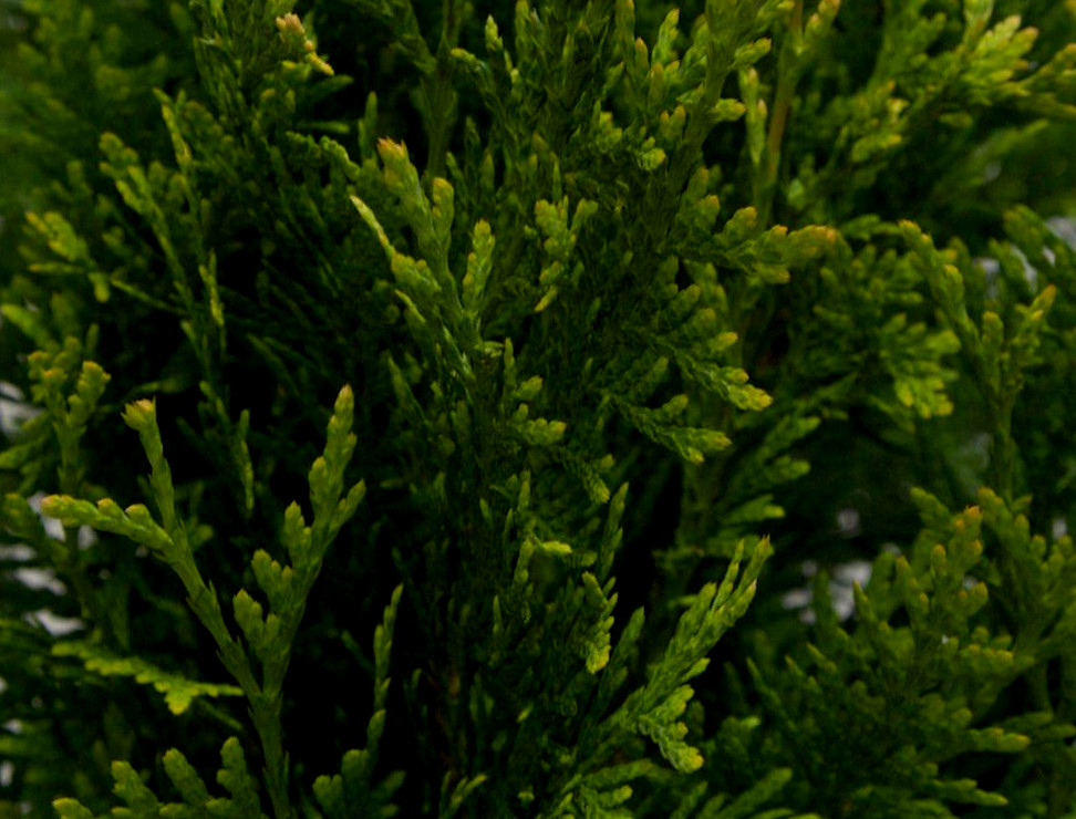 Is Pruning Evergreen Trees Worth It Tcl Landscaping Guide
